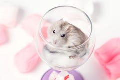 仓鼠逗人喜爱的夫妇在玻璃的 库存照片