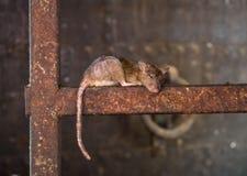 鼠采取休息 库存照片