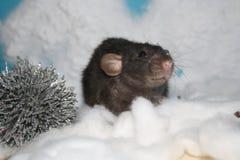 黑鼠雪 免版税库存照片