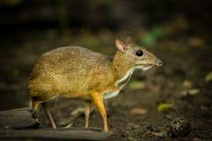 鼠鹿 免版税库存图片