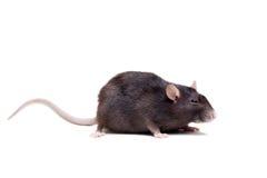 鼠,三岁在白色 免版税库存照片