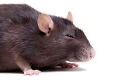 鼠,三岁在白色 免版税图库摄影