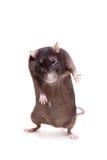 鼠,三岁在白色 库存图片