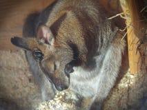 鼠,小袋鼠,在睡眠以后清洗自己在一个动物园被加热的亭子在一个晴朗的冬日 图库摄影