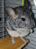 黄鼠 库存图片