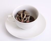 鼯鼠或Sugarglider在一杯陶瓷咖啡 免版税库存图片