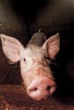 鼻子猪 免版税库存照片