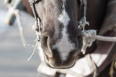 鼻子马本质上 库存图片