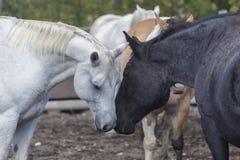 鼻插入白色和黑的马 免版税库存图片