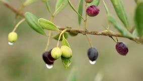 齐墩果europaea狂放的共同的橄榄树 股票视频