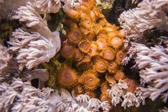齐尼亚珊瑚 并且棕色Zoantharia 免版税库存照片