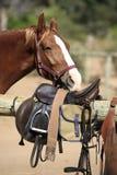 齿轮马骑术嗅到 免版税库存照片
