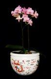 龙兰花粉红色罐 免版税库存照片