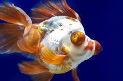龙在鱼缸的眼睛金鱼 免版税库存图片