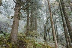 黄龙惊人的狂放的多雪的森林  图库摄影