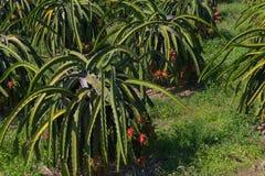 龙果子或Pitaya Pitahaya种植园在泰国Hylocercu 免版税库存图片