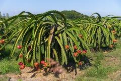 龙果子Pitaya Pitahaya种植园泰国 免版税库存照片