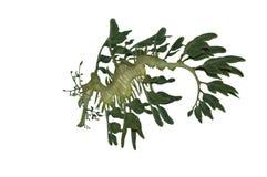 龙查出的叶茂盛海运白色 免版税库存图片