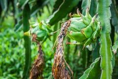 龙根天南星果子或Pitaya Pitahaya种植园在巴厘岛, Ubud,印度尼西亚 库存图片