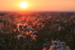 龙牙草和草甸在五颜六色的日落背景开花  免版税库存图片