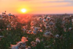龙牙草和草甸花花在五颜六色的日落背景的在夏天 免版税库存照片