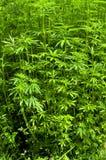 龙牙草cannabium泽兰属植物大麻 库存图片