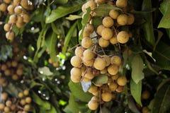 龙眼果树园-热带水果美丽的龙眼,泰国 免版税库存照片