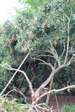 龙眼树和果子 免版税库存照片