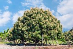 龙眼树在夏天农村有机农场 库存照片
