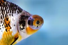 龙眼睛金鱼 免版税库存图片
