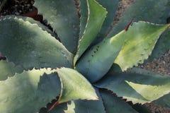 龙舌兰从墨西哥的仙人掌植物 免版税库存图片