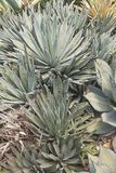 龙舌兰仙人掌植物 免版税库存图片