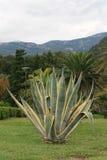 龙舌兰在一个美丽的热带庭院里 垂直 免版税库存照片
