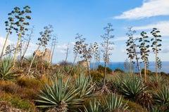 龙舌兰在撒丁岛 库存图片