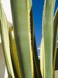 龙舌兰在阿尔加威 免版税图库摄影