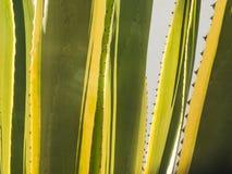 龙舌兰在阿尔加威 图库摄影