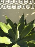 龙舌兰在阿尔加威 库存图片