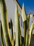 龙舌兰在阿尔加威 免版税库存照片