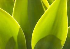 龙舌兰工厂详细资料在自然阳光下 图库摄影