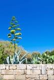 龙舌兰开花在马耳他 库存照片
