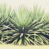 龙舌兰植物在毛伊的库拉 库存照片