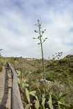 龙舌兰植物,特内里费岛, Canarian海岛,西班牙,欧洲大开花  免版税库存图片