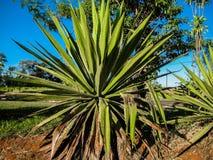 龙舌兰植物 库存图片