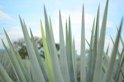 龙舌兰植物 免版税库存图片