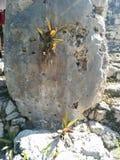 龙舌兰特写镜头种植生长在Kohunlich玛雅废墟的结构 免版税图库摄影