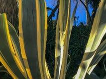 龙舌兰美丽的黄色和绿色叶子  库存图片