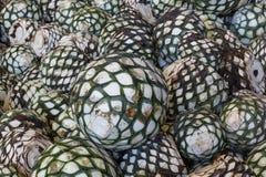 龙舌兰酒的生产的植物 免版税库存图片