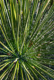 龙舌兰Geminiflora的看法 库存图片