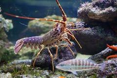 龙虾和鱼在水族馆 图库摄影