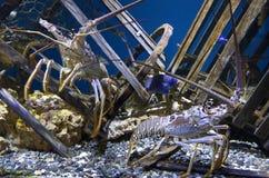 龙虾在点反抗动物园和水族馆里 免版税图库摄影